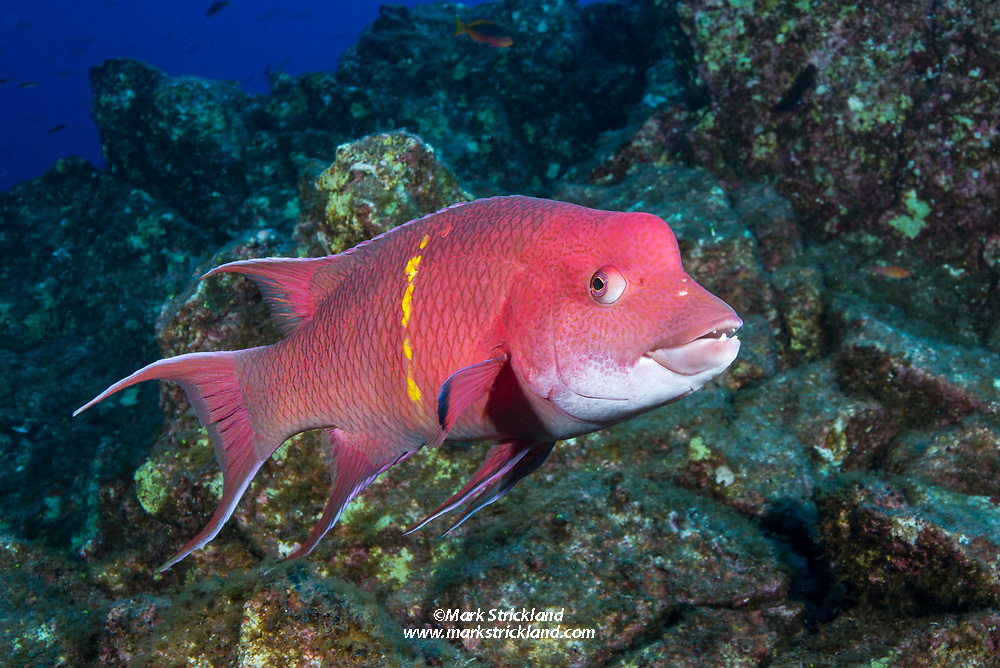 While famous for big animals, the Revillagigedos are also home to many colordul fish, including this Mexican Hogfish, Bodianus diplotaenia.  El Canyon, Socorro, Revillagigedos, Mexico, Pacific Ocean