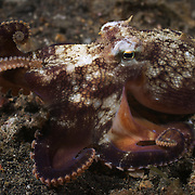 Veined octopus (Amphioctopus marginatus) looking for food at night in the Lembeh Strait, North Sulawesi, Indonesia.