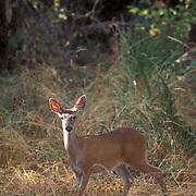 Black-tailed Deer, (Odocoileus hemionus) Oregon.