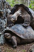 A mating pair of galapagos giant tortoises (Geochelone vandenburg), Isabela Island, Galapagos Islands, Ecuador