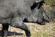 Porco Iberico, Iberian pig, in the Dehesa in Salamanca Region, Castilla y León, Spain