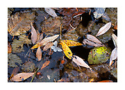 leaves and dead insects decaying in a pond in autumn forming an abstract pattern of colour and detail