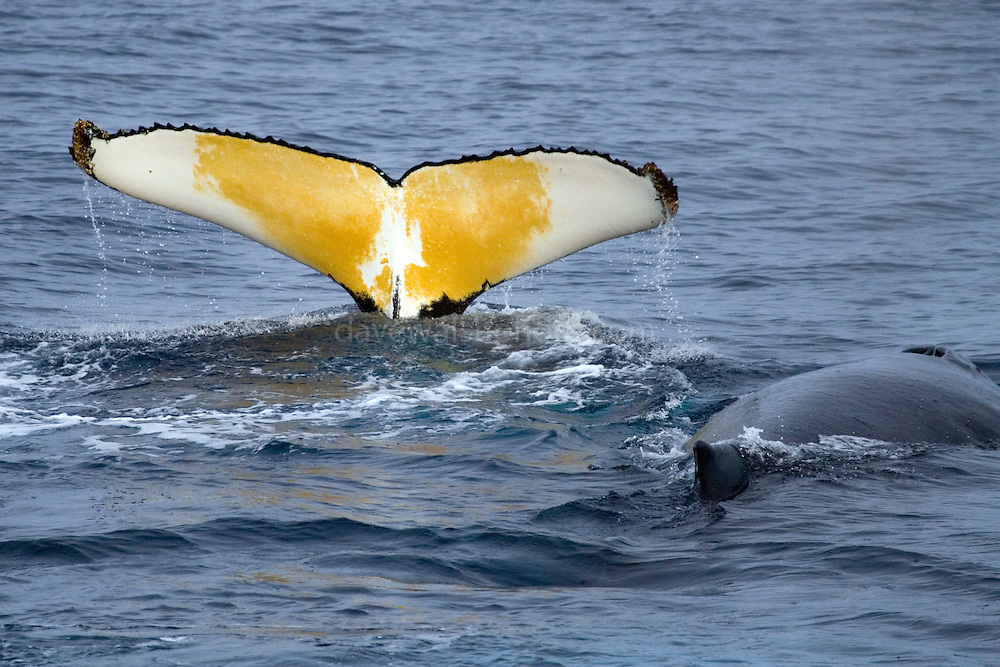 Humpback whale fluking, Southern Ocean