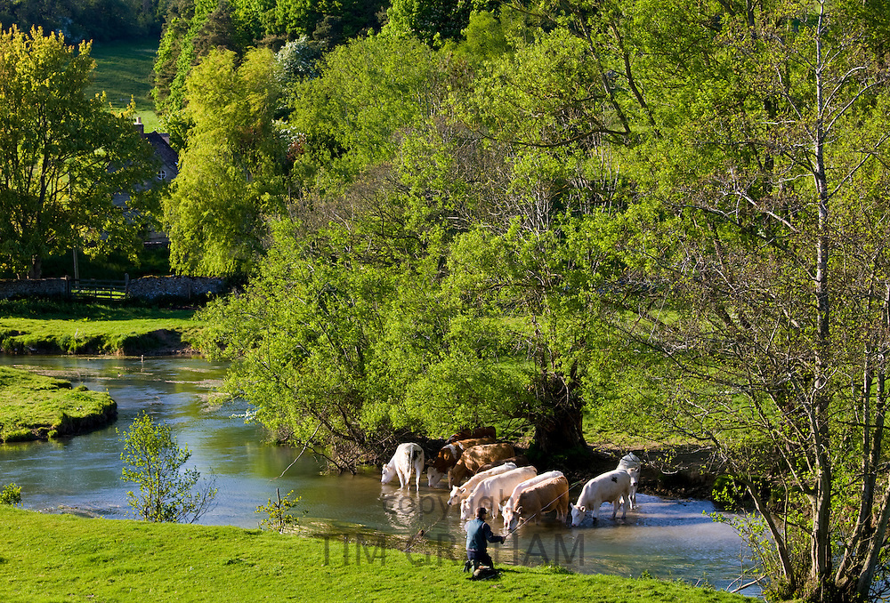 Fisherman fishing and cows cool off in River Windrush, The Cotswolds, Swinbrook, Oxfordshire, UK