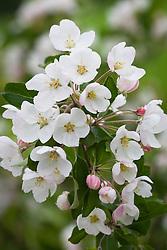 Malus 'Dartmouth' in blossom. Crab apple