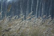 Common reed (Phragmites australis) in swinter snowfall, near Riga, Latvia Ⓒ Davis Ulands | davisulands.com