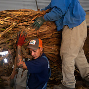 Christian Martinez takes a tobacco load from Luis Villalobos while working on the harvest at Jepson Family Farms in Orlinda, Tennessee. Nathan Lambrecht/Journal Communications