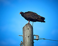 Turkey Vulture. Biolab Road, Merritt Island National Wildlife Refuge. Image taken with a Nikon D3s camera and 80-400 mm VR len (ISO 200, 400 mm, f/5.6, 1/1250 sec).
