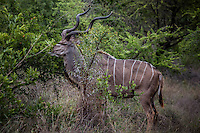 Single male Greater Kudu in Kruger National Park, South Africa.