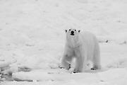 A polar bear (Ursus maritimus) walking in the snow in black and white, Spitsbergen, Northwest Coast of the Svalbard Archipelago, Norway