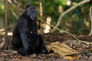 Crested Black Macaques (Macaca nigra)  in Tangkoko Nature Reserve, northern Sulawesi, Indonesia.