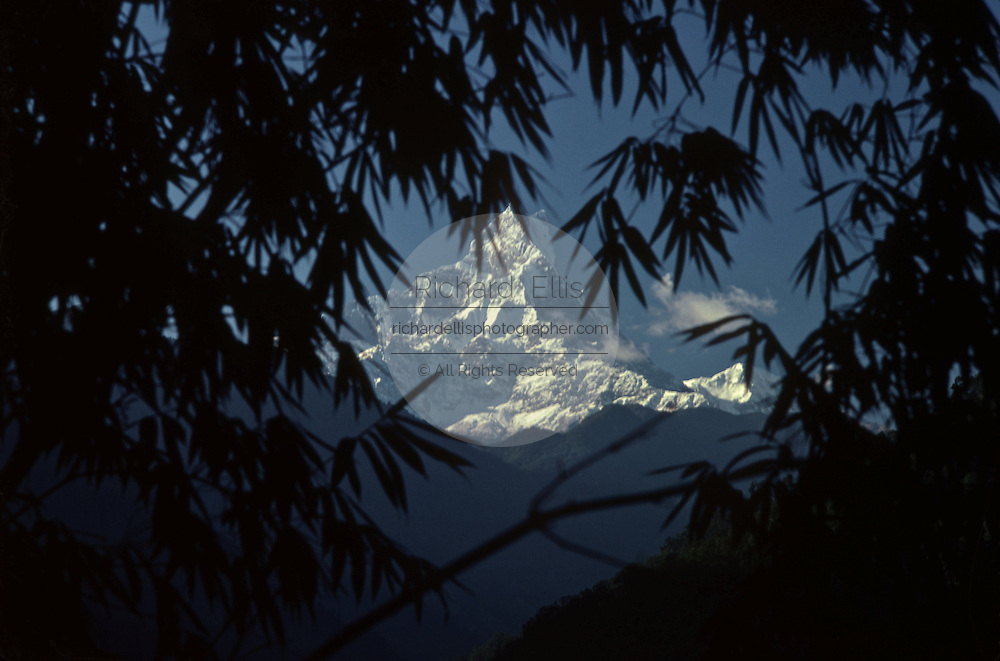 Mount Machhapuchhre, also called Fishtail mountain in the Nepal Himalayan range framed by a grove of bamboo.....Machapuchare or Machhaphuchhare is a mountain in the Annapurna Himal of north central Nepal. It is revered as particularly sacred by the local population, and hence is off limits to climbing.