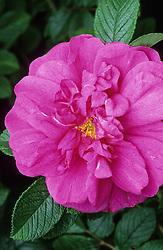 Rosa 'Roseraie de L'Hay'