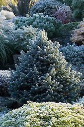 Hoar frost on Abies lasiocarpa 'Compacta' - Silver fir