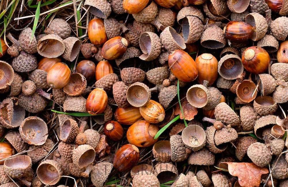 Acorns in a woodland setting during autumn in England