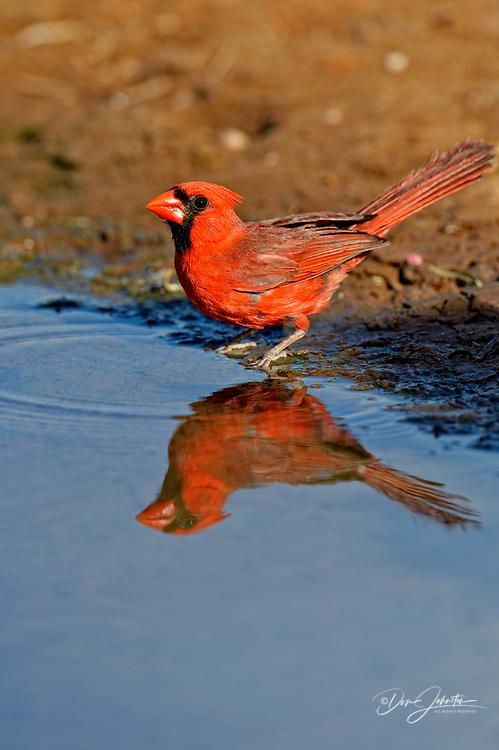 Northern Cardinal (Cardinalis cardinalis) Male, Rio Grande City, Texas, USA