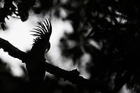 Palm cockatoo (Probosciger aterrimus) in the lowland rainforest, Aiduma Island, near Triton Bay, Mainland New Guinea, Western Papua, from the book PAPUA - AMONG BIRDS OF PARADISE AND MANTA RAYS