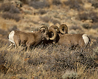 Big Horn Sheep Along Colorado 14 near Sheridan in Roosevelt National Forest. Image taken with a Nikon D2xs and 200-400 mm lens (ISO 400, 400 mm, f/5.6, 1/1250 sec)