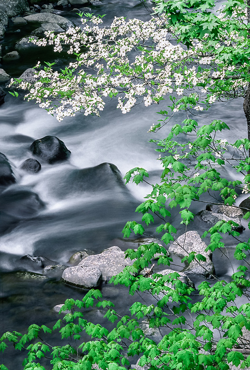 Dogwood blossoms, Middle Prong Little River, Great Smoky Mountains National Park, Tennessee, USA