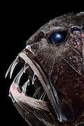 [captive] Common fangtooth (Anoplogaster cornuta), Deep Sea fish, (Valenciennes, 1833), portrait,  Ord. Beryciformes, Fam. Anoplogastridae. Atlantic Ocean close to Cape Verde | Die Zähne des Fangzahnfischs Anoplogaster cornuta sind die – im Verhältnis zum Körper – längsten bei Meeresfischen bekannten. Sie sind so lang, dass die Fische ihr Maul nur schließen können, wenn sie sie in zwei Hohlräumen rechts und links ihres Gehirns verstauen.