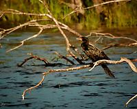 Long-tailed Cormorant. Zambezi River Wildlife Tour. Image taken with a Nikon 1 V3 camera and  70-300 mm VR lens