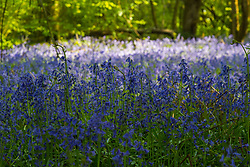 Pools of shade and sunlight on the bluebells in a woodland in Belsize, Hertfordshire. Belsize, Herts, May 06 2018.