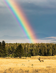 Bull Elk, Rainbow, Yellowstone. Often times the treasure at the end of a rainbow is something other than a pot of gold.