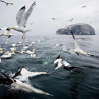 Bass Rock Gannet Colony