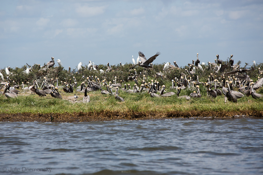 March 31, 2015,  Five years after the BP oil spill, Brown pelicans and other birds nest on a small barrier island in Plaquemines Parish. Some barrier island that had bird rookeries, including Cat Island have eroded away since the BP oil spill.