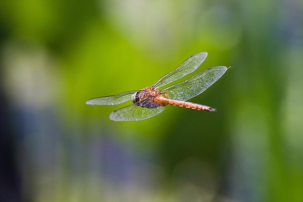 Dragonfly, Anaciaeschna isoceles, Latorica backwaters, Eastern Slovakia, Europe, Keilflecklibelle, Anaciaeschna isoceles, Latorica Altwasser, Ost-Slowakei, Europa