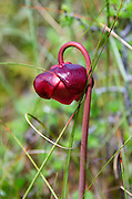 A Pitcher Plant blooms in the Eagle Hill Bog, Roosevelt-Campobello International Park, New Brunswick.