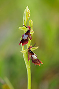 Fly Orchid, Ophrys insectifera, growing in an abandoned limestone quarry in the Peak District