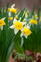 Wild daffodils growing in a woodland.  Narcissus pseudonarcissus could be used for Topolino