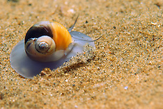 Mollusks _other than Cephalopods