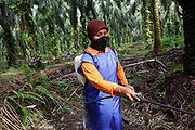 A female worker in protective eqipment sprays herbicide selectively around oil palms in a plantation in Ukui, Riau Province, Indonesia, on 16 June 2015. This area has become dominated by palm oil production, and some smallholder farmers have formed co-operatives to share costs, increase access to markets, and become certified by the Roundtable on Sustainable Palm Oil. The workers are part of Amanah, a local cooperative that has helped over 400 farmers become RSPO certified - reducing their use of pesticides and fertilizers, improving their protective clothing practices, and increasing yields. Smallholders account for 40% of global palm oil production, and as such play an important role in increasing sustainability within the industry.