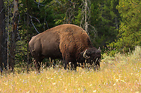 Anything you've heard about seeing bison (aka Buffalo) all over the place in Yellowstone National Park is absolutely true.  They are extremely abundant and very easy to find...We found this behemoth in the middle of our path while we were hiking along the Clear Lake Trail.  We watched and waited until he moved along before we continued down the trail.....©2009, Sean Phillips.http://www.Sean-Phillips.com