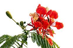 Royal Poinciana Tree Delonix Regia #23