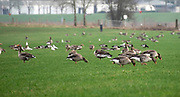 Nederland, Middelaar, 6-2-2020Een grote groep wilde ganzen fourageert,vreet gras, in een weiland dicht bij de rivier de Maas. FOTO: FLIP FRANSSEN