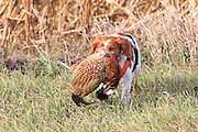 Brittany Spaniel retrieves a rooster pheasant during a pheasant hunt in South Dakota