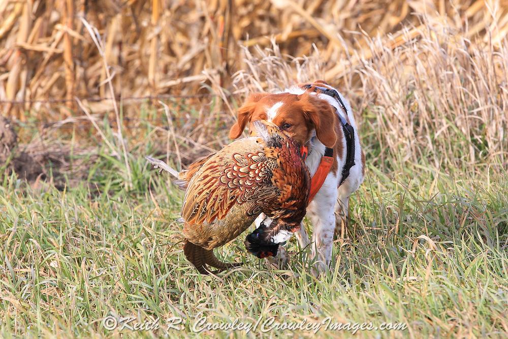 Brittany Spaniel retrieves a rooster pheasant during a pheasant hunt in South Dakota
