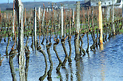 Cabernet Franc vines in Bourgueil standing with the feet in water in a vineyard that has been flooded from rain. The vines have been pruned and look naked in the sunshine. They will be trained in the Guyot system with the one remaining branch tided horizontally, Bourgueil Indre et Loire France