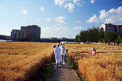 June 7, 2017 - Beijing, Beijing, China - Beijing, CHINA-June 7 2017: (EDITORIAL USE ONLY. CHINA OUT) ..The wheat field located in the central area of Beijing is called as the most experience wheat field because of the rising housing price in Beijing. (Credit Image: © SIPA Asia via ZUMA Wire)