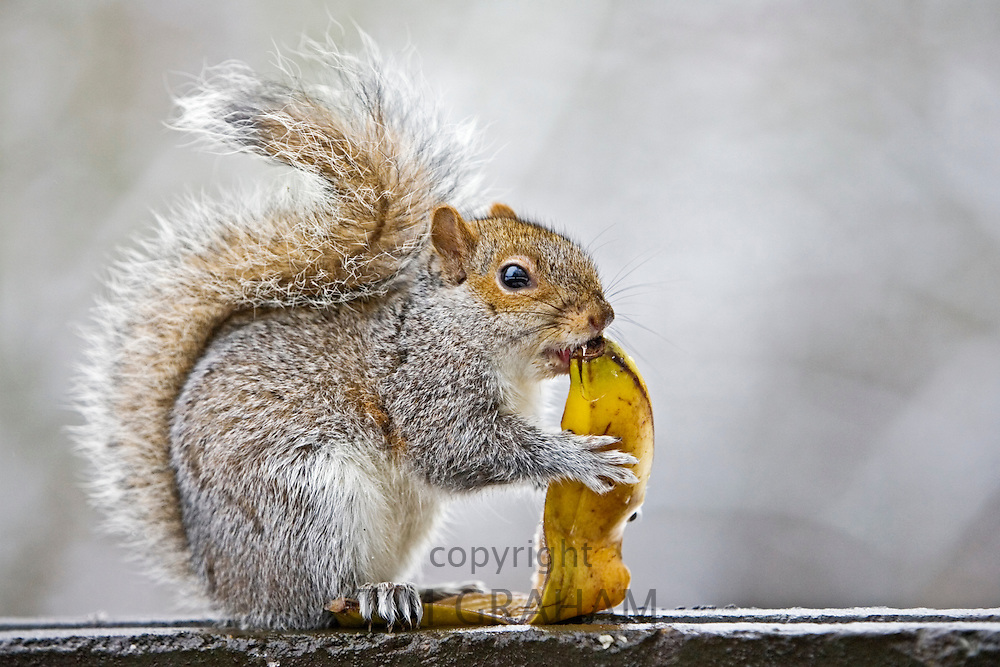 Grey squirrel eats banana skin from rubbish bin in Hampstead Heath, London, United Kingdom