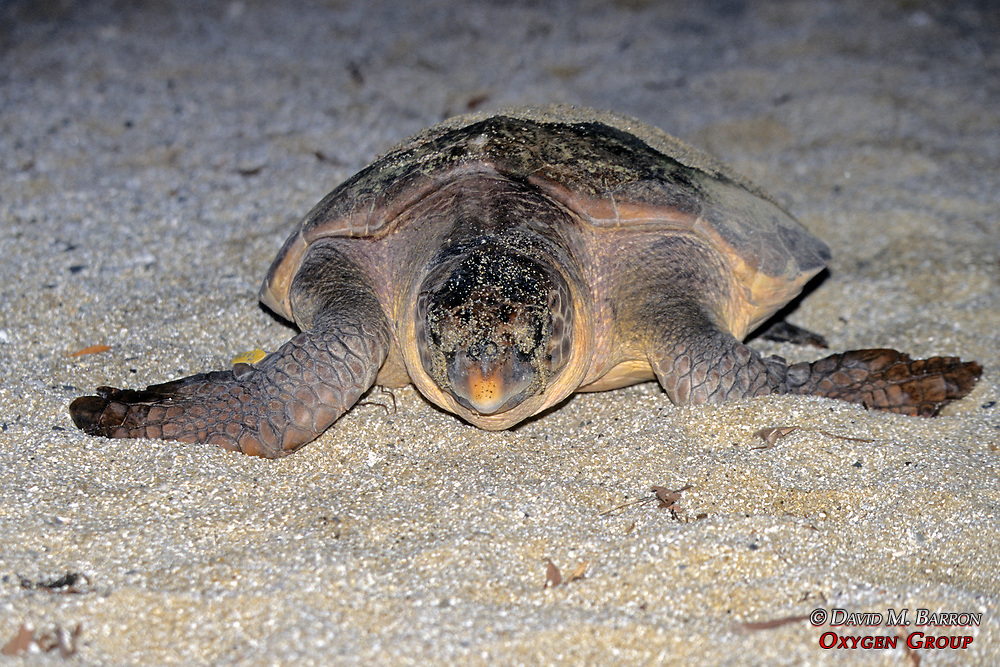 Loggerhead Turtle Heading Back To Ocean