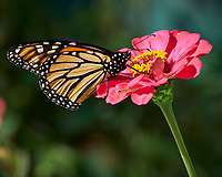 Monarch Butterfly Feeding on a Pink Zinnia Flower. Image taken with a Fuji X-H1 camera and 80 mm f/2.8 OIS macro lens (ISO 200, 80 mm, f/5.6, 1/400 sec).