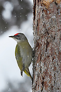 Grey-headed woodpecker, Picus canus,  Frost winter, minus - 30 C in the boreal Taiga forest Kalvtrask, Västerbotten, Lapland, Sweden