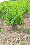 Slate. Vineyard. Grenache. Domaine Boucabeille, Corneilla la Riviere, Roussillon, France