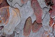 Bark patterns on pine tree.