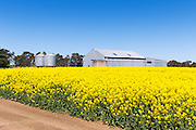 farm shed and silo in field of flowering canola crop near Willaura, rural Victoria, Australia. <br />