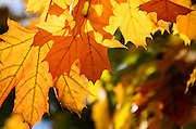 Close up of backlit Sugar Maple leaves in autumn, Bar Harbor, Maine